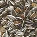 Семя подсолнечника полосатое